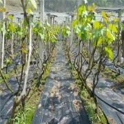 果园盖草布多少钱一平米